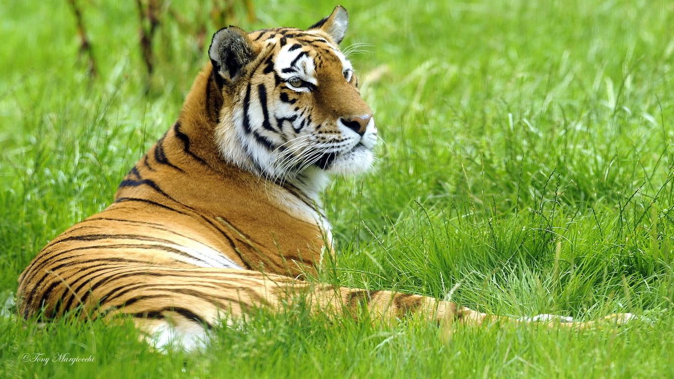 картинки тигры фото для рабочего стола использовать виртуальную