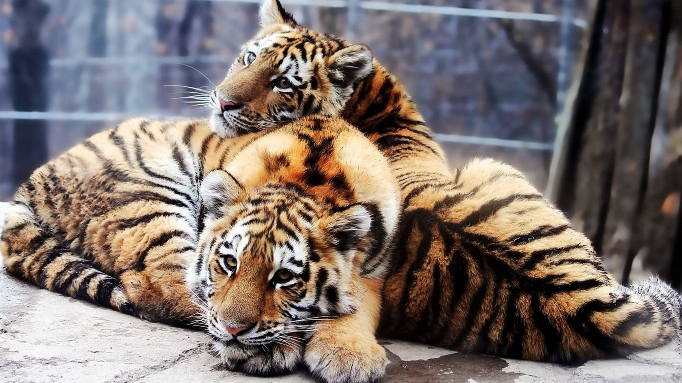 обои на рабочий стол тигры львы