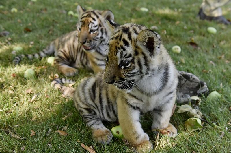 Тигрята фотографии - красивая подборка 20 картинок (1)