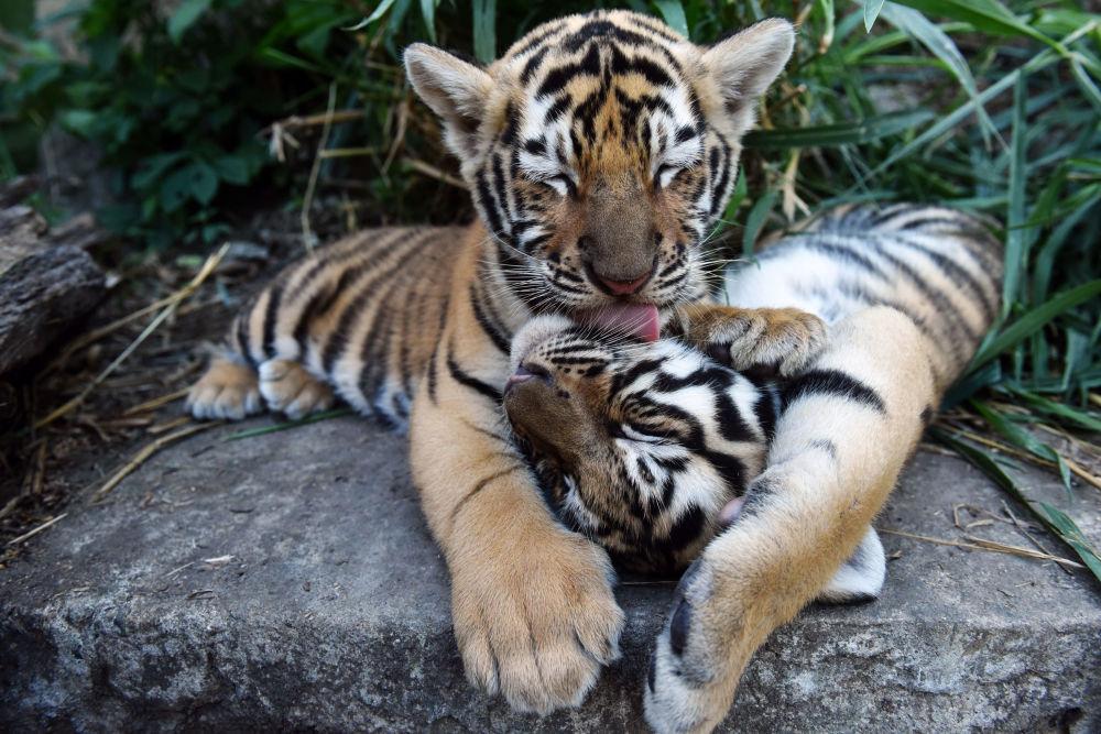 Тигрята фотографии - красивая подборка 20 картинок (10)