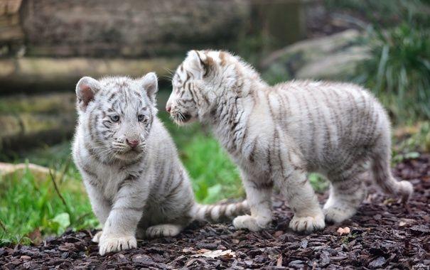 Тигрята фотографии - красивая подборка 20 картинок (12)