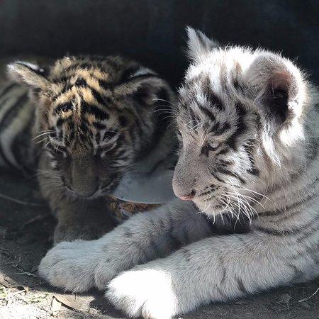 Тигрята фотографии - красивая подборка 20 картинок (13)
