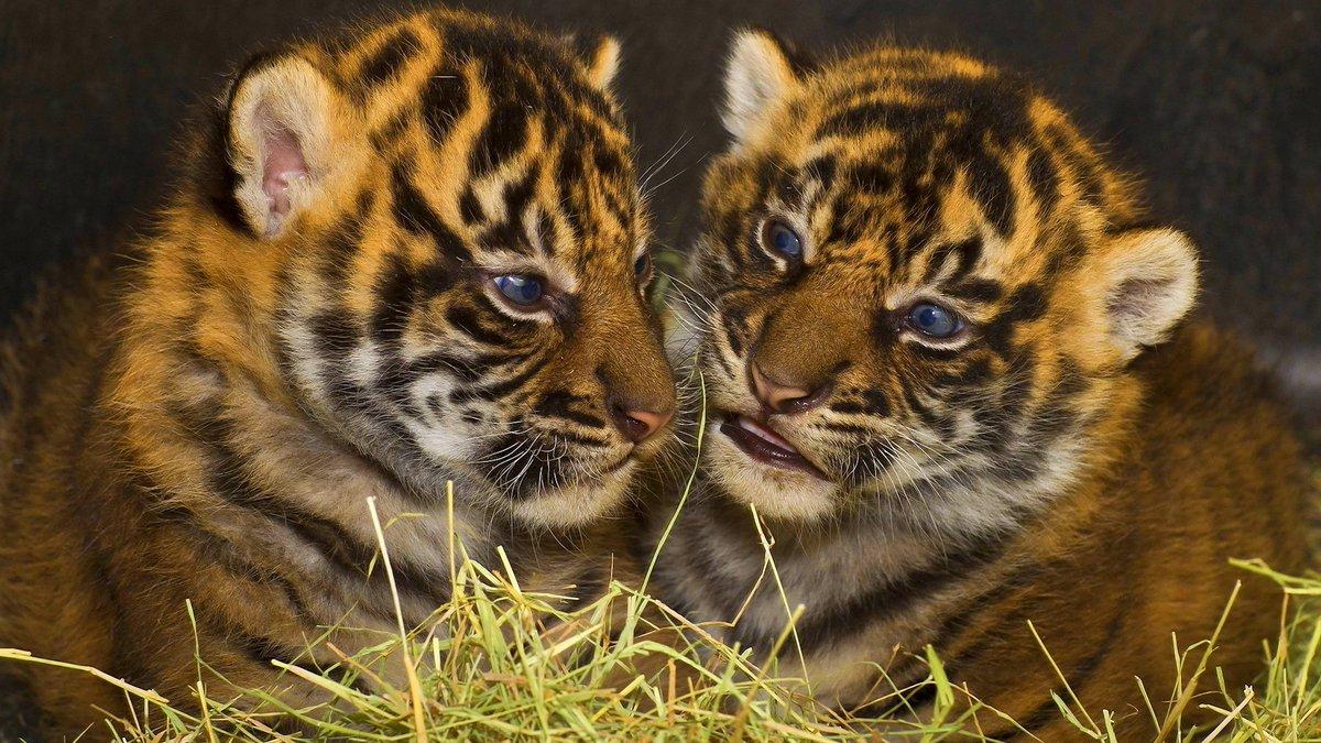 красивые картинки маленьких тигрят женой поселился скромной