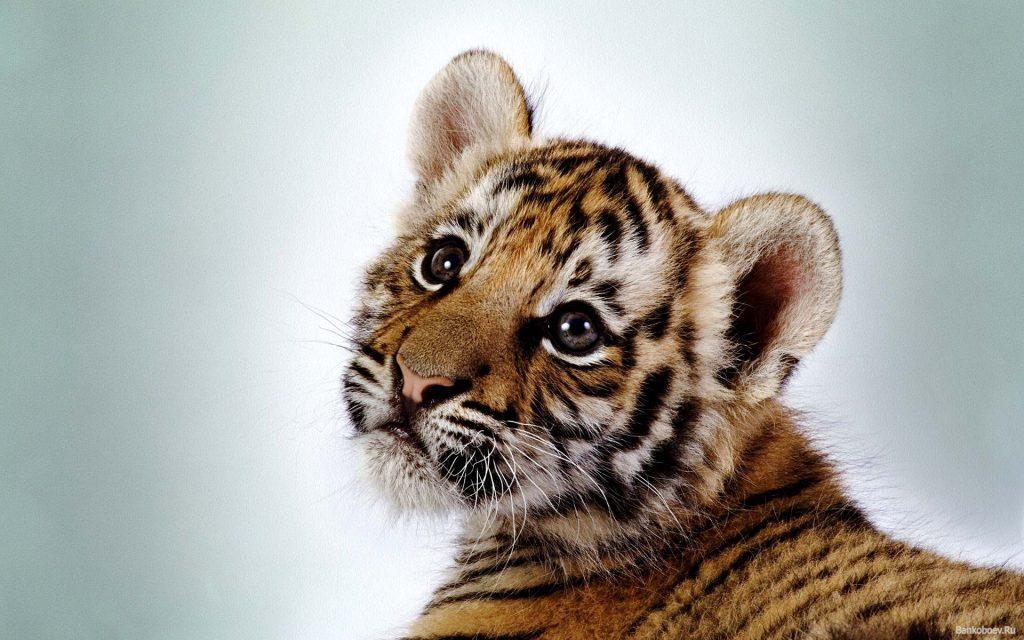 Тигрята фотографии - красивая подборка 20 картинок (15)
