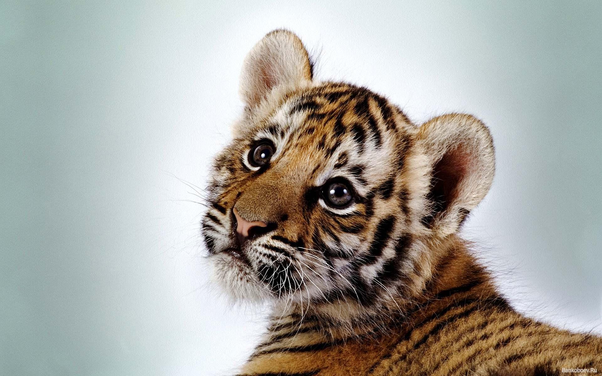 Картинки тигров тигрят
