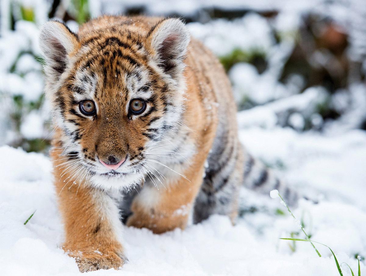Тигрята фотографии   красивая подборка 20 картинок (17)