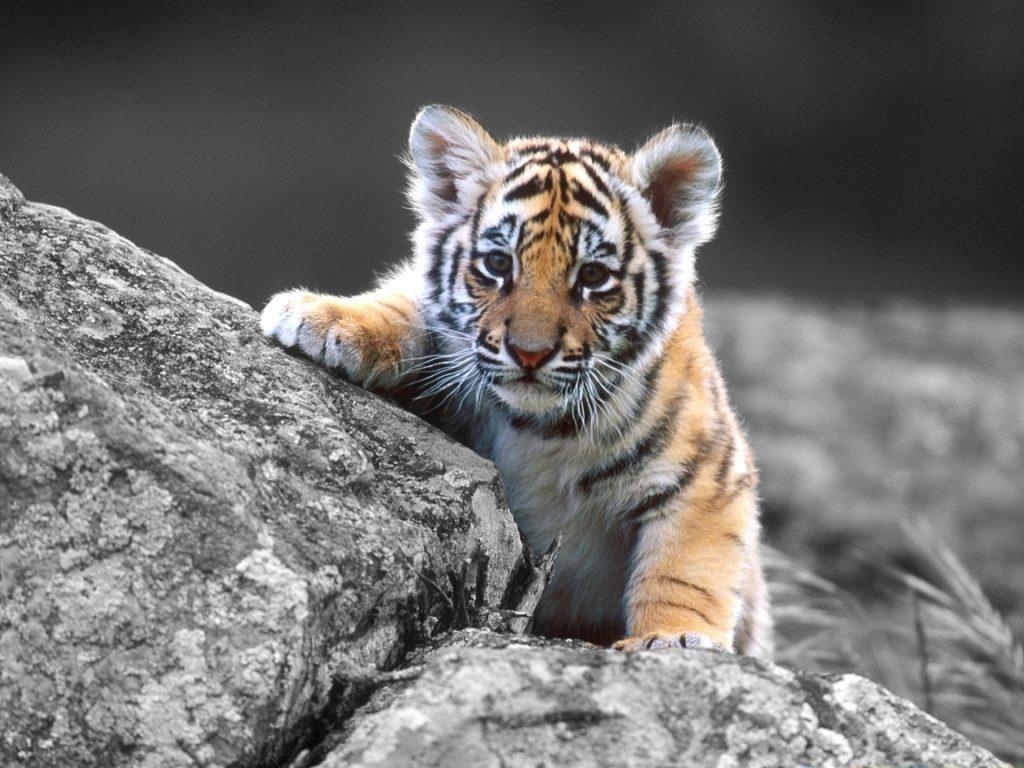 Тигрята фотографии - красивая подборка 20 картинок (18)