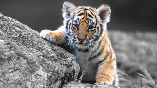 Тигрята фотографии   красивая подборка 20 картинок (18)