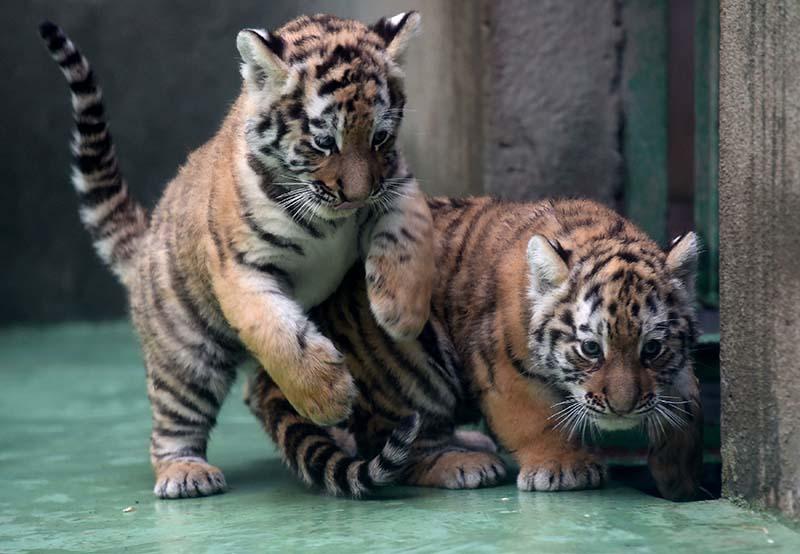 Тигрята фотографии - красивая подборка 20 картинок (20)