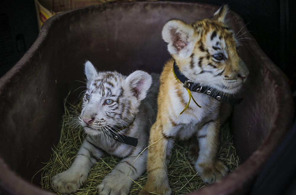 Тигрята фотографии - красивая подборка 20 картинок (3)