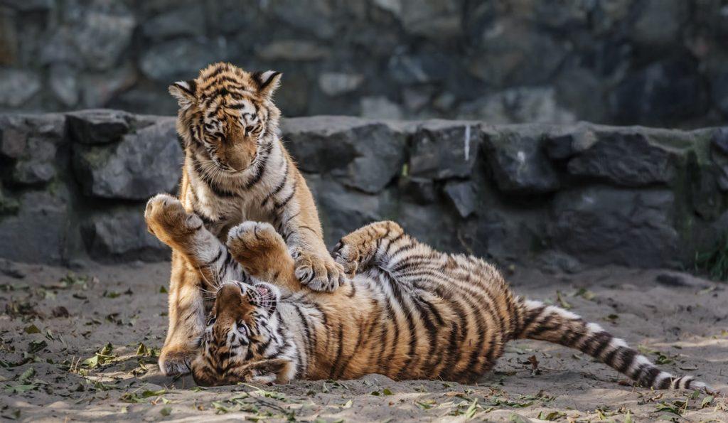 Тигрята фотографии - красивая подборка 20 картинок (4)