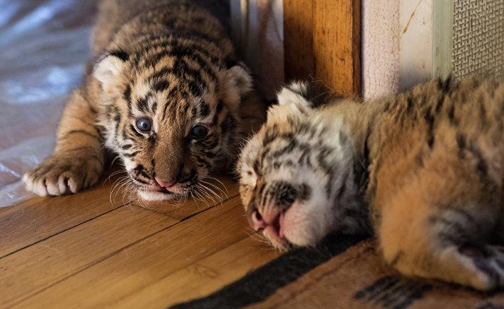 Тигрята фотографии - красивая подборка 20 картинок (5)