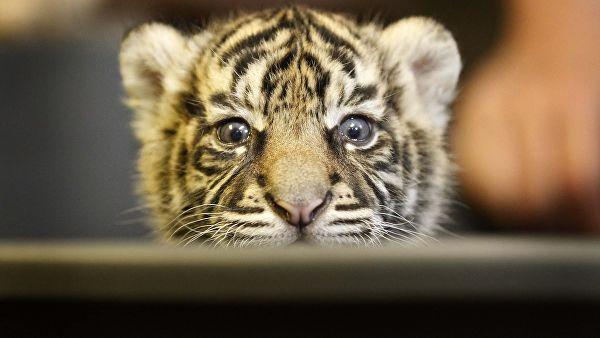Тигрята фотографии - красивая подборка 20 картинок (6)