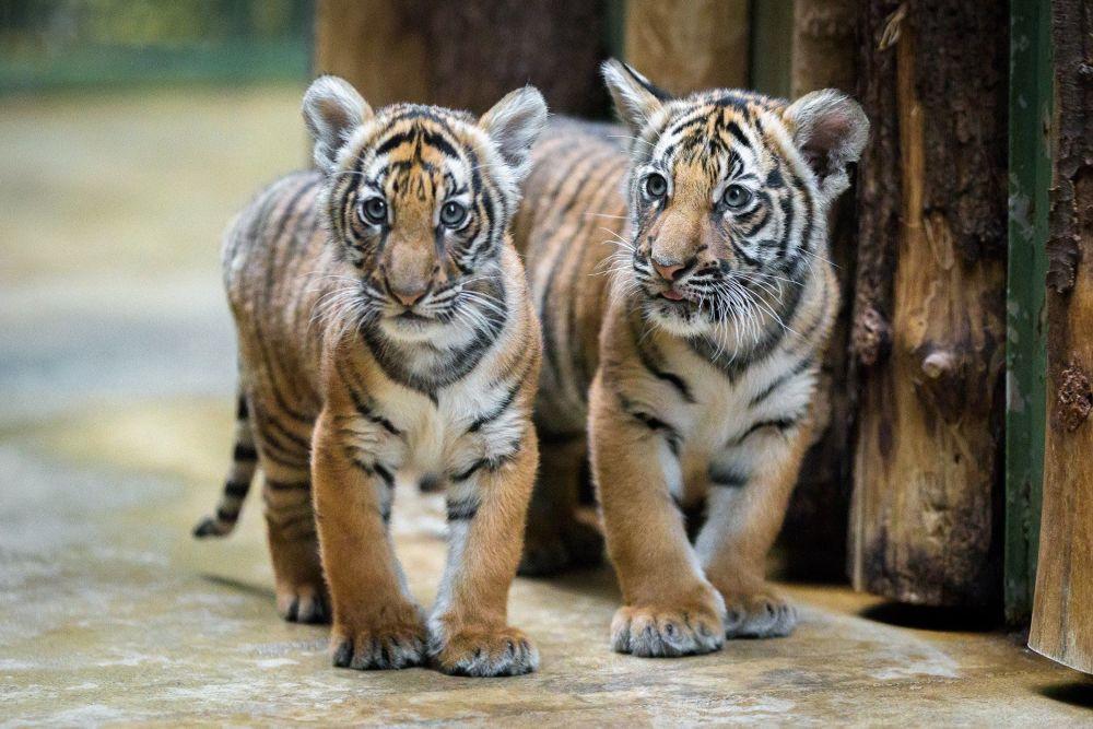 Тигрята фотографии - красивая подборка 20 картинок (8)