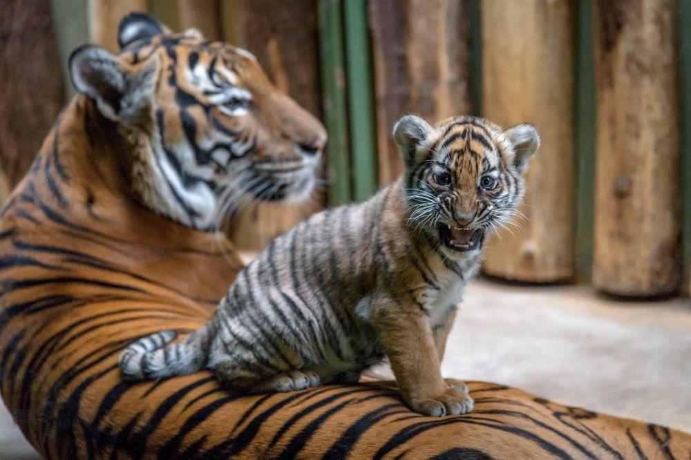 Тигрята фотографии - красивая подборка 20 картинок (9)