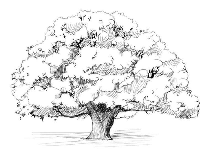 Дуб картинки для детей нарисованные015