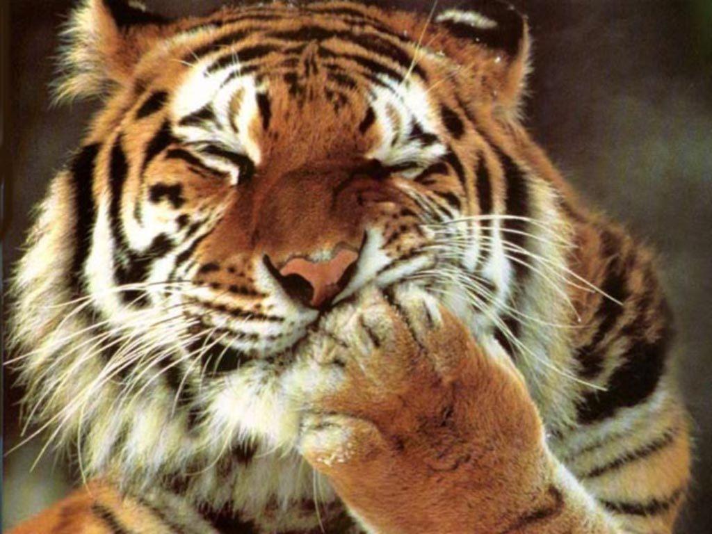 Картинки на рабочий стол тигр (12)