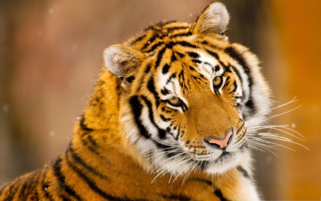 Картинки на рабочий стол тигр (13)