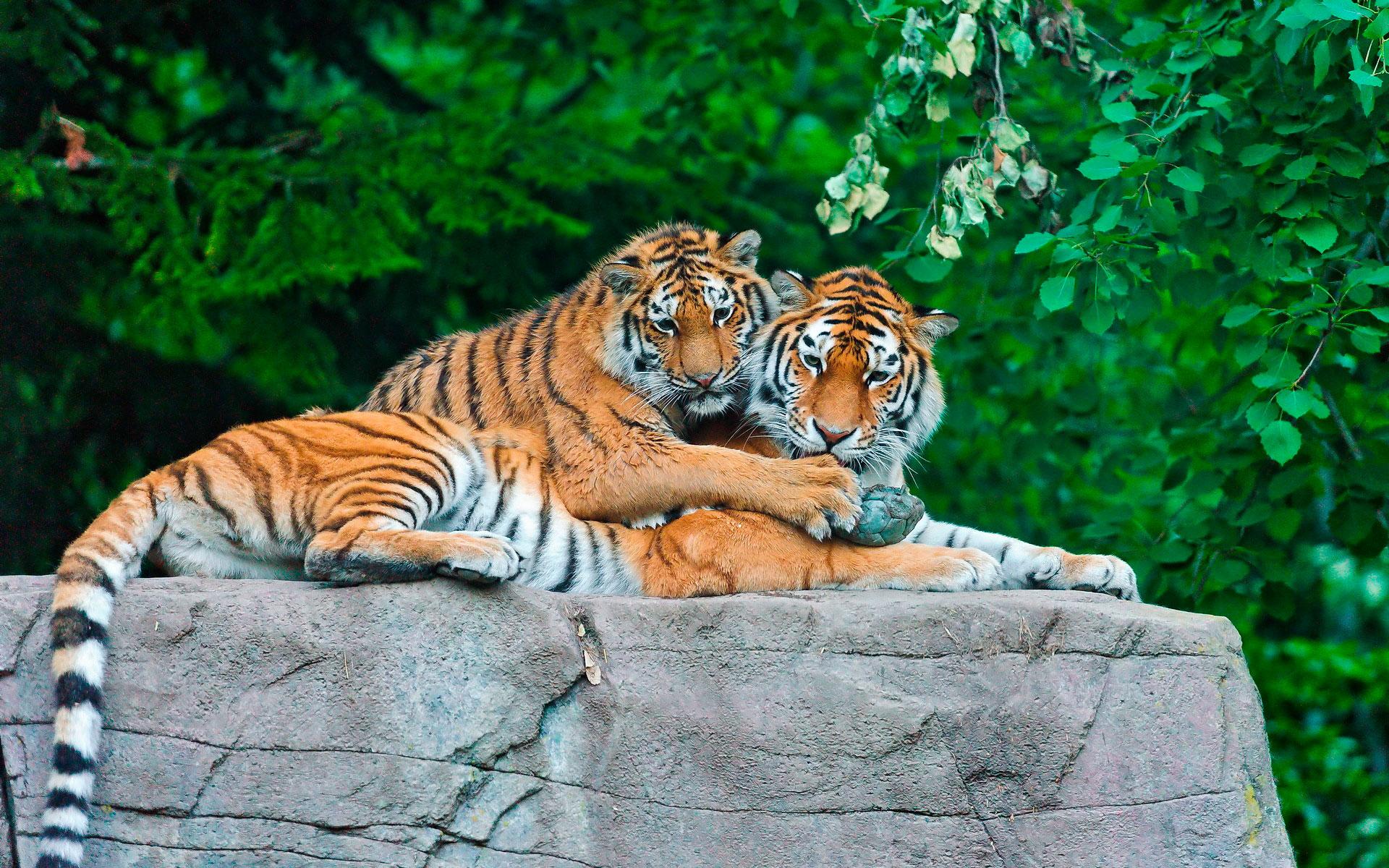 Картинки на рабочий стол тигр (14)