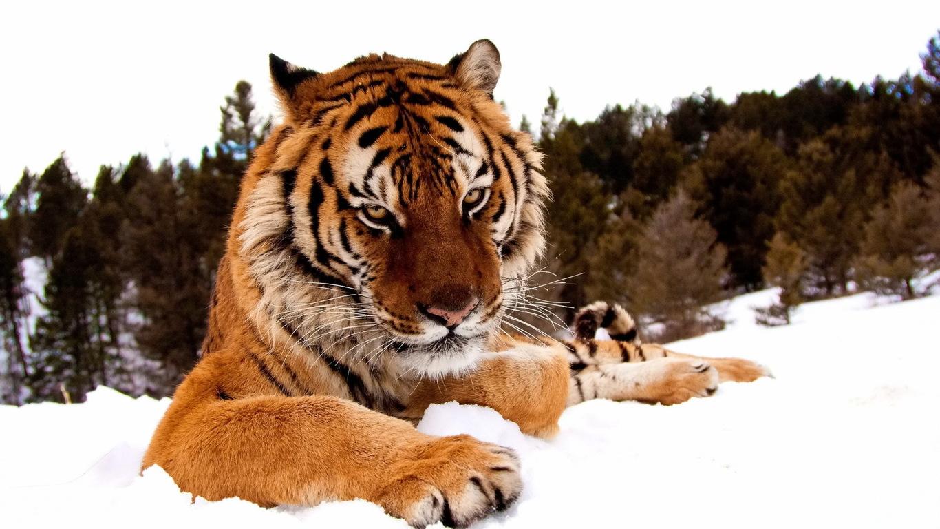Картинки на рабочий стол тигр (16)