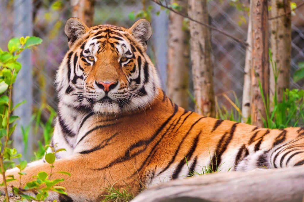 Картинки на рабочий стол тигр (17)