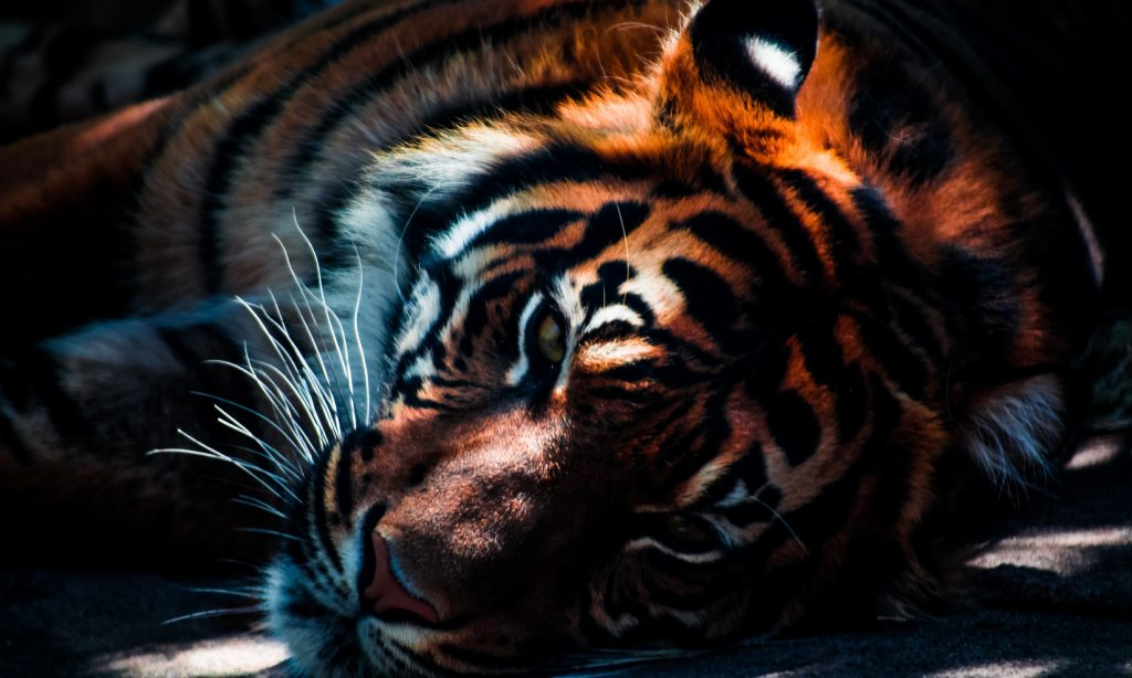 Картинки на рабочий стол тигр (21)