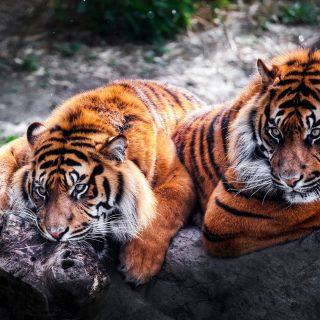 Картинки на рабочий стол тигр (23)