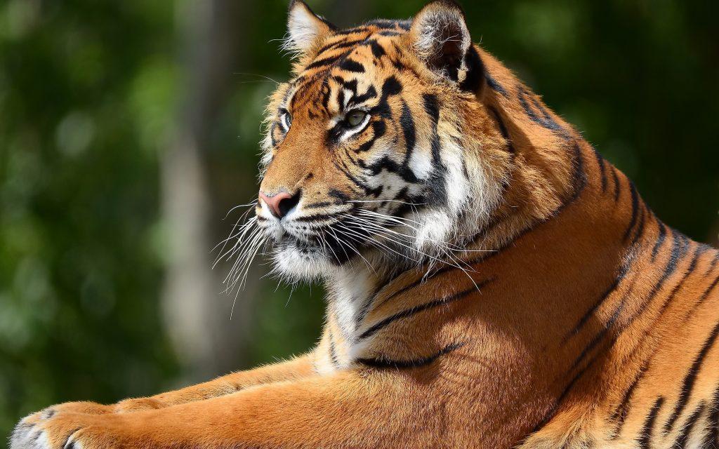 Картинки на рабочий стол тигр (4)