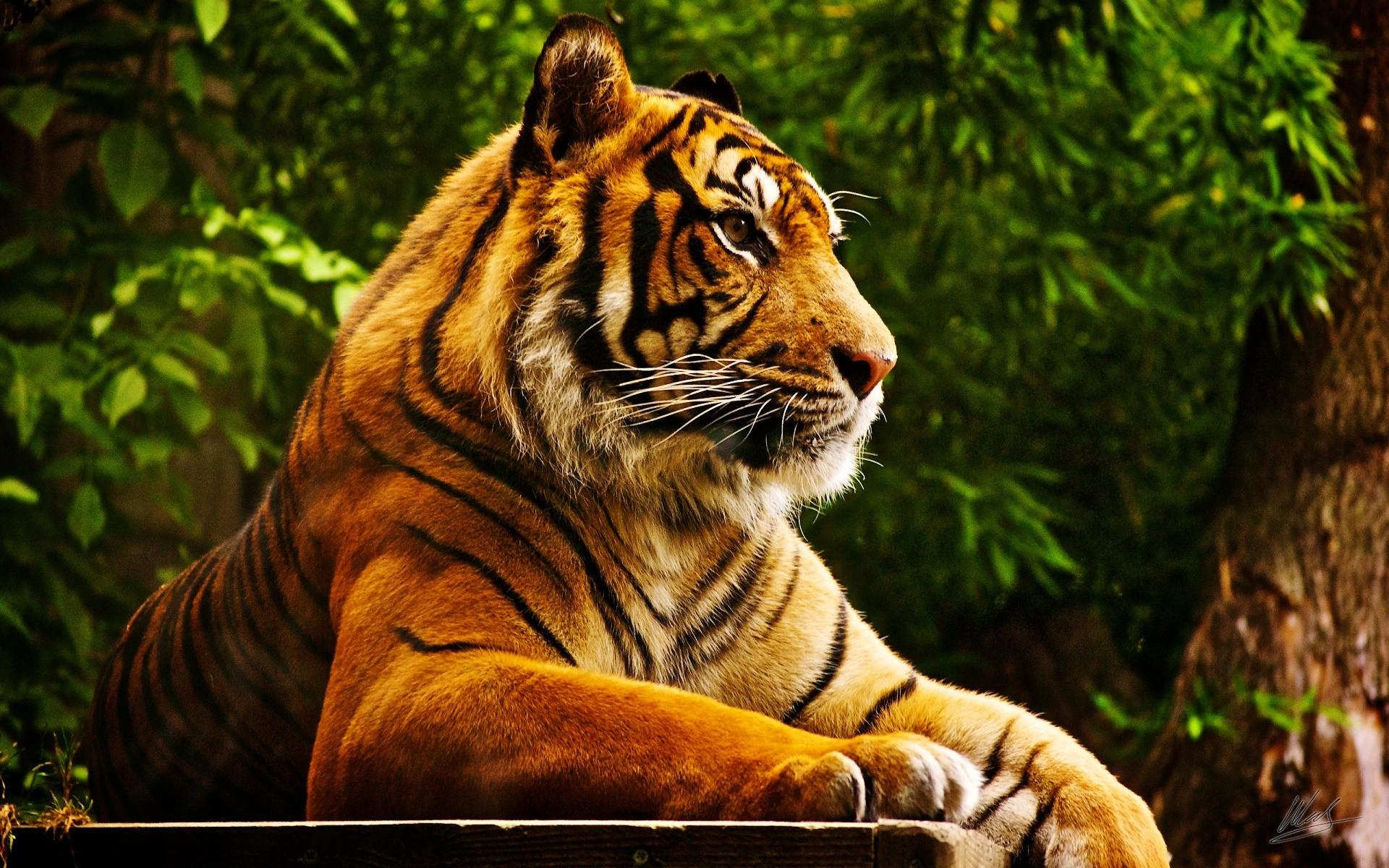 Картинки на рабочий стол тигр (5)