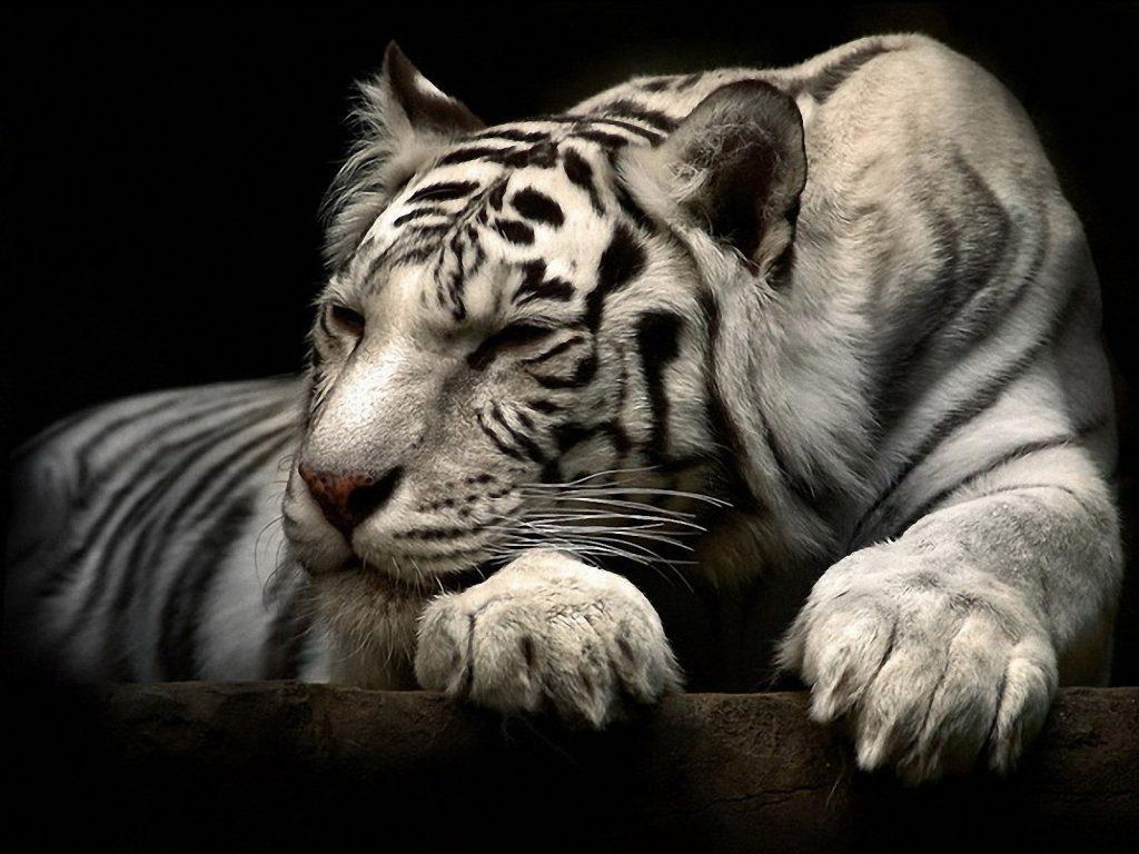 Картинки на рабочий стол тигр (6)