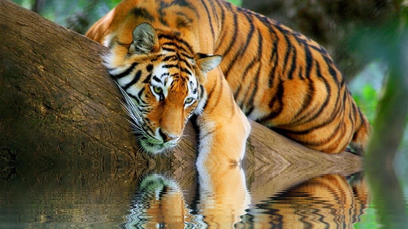 Картинки на рабочий стол тигр (8)