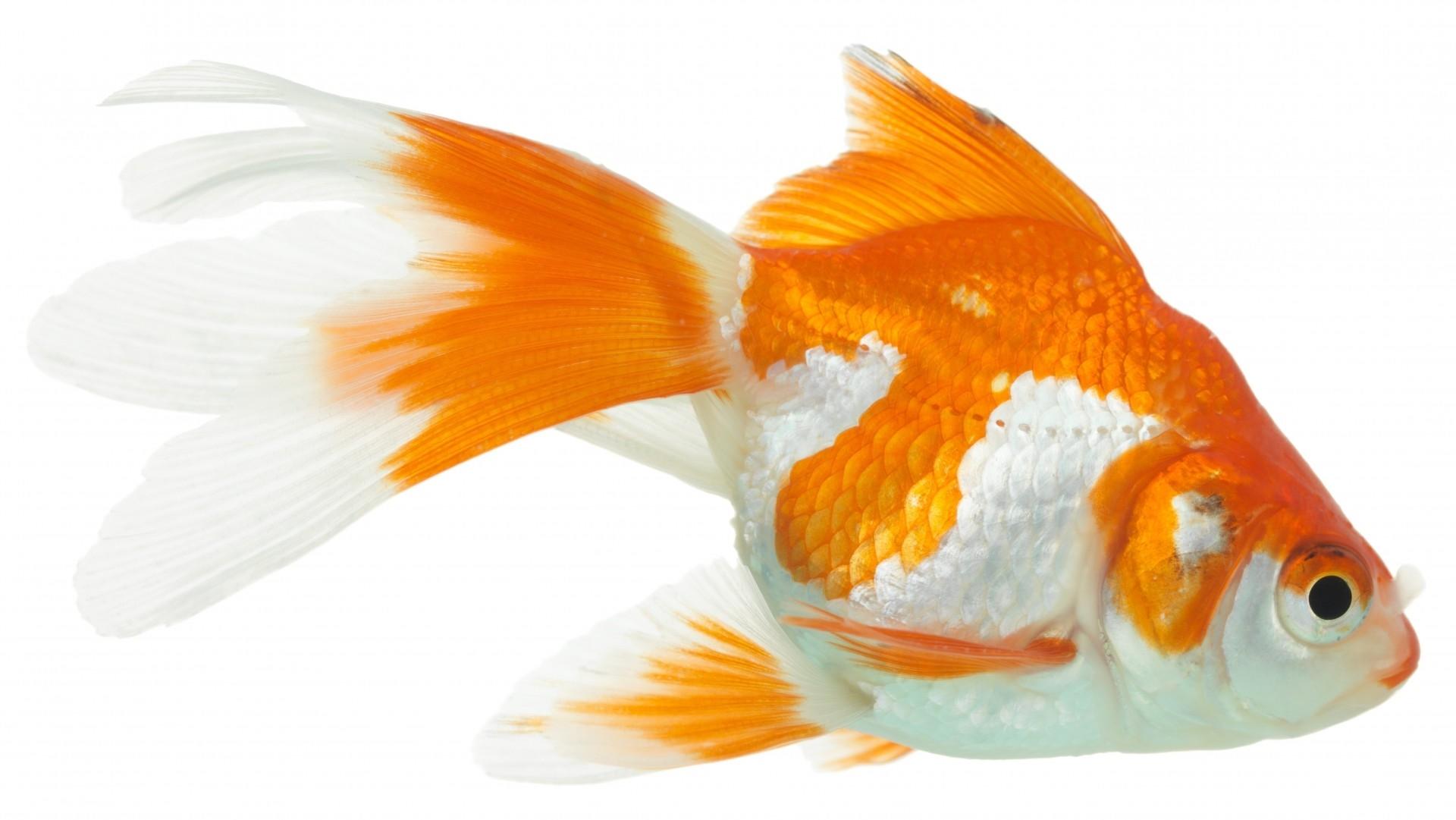 Картинки рыбки для детей на белом фоне (11)