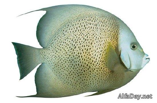 Картинки рыбки для детей на белом фоне (15)