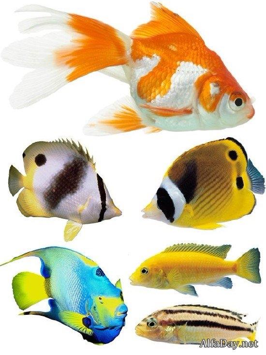Картинки рыбки для детей на белом фоне (18)