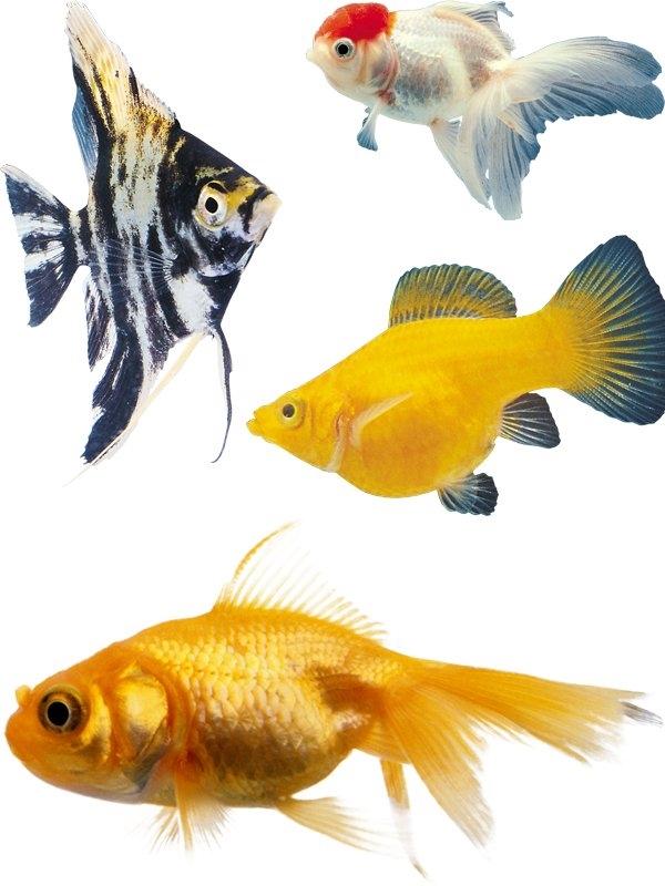 Картинки рыбки для детей на белом фоне (20)