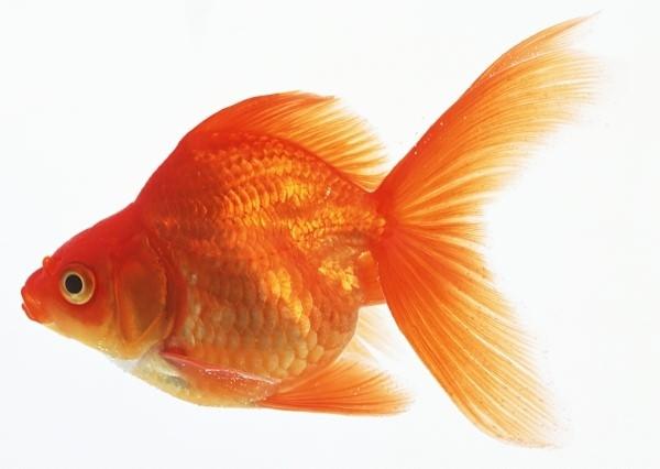 Картинки рыбки для детей на белом фоне (4)