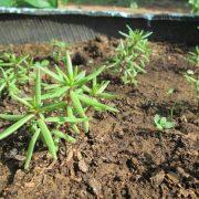 Портулак   посадка рассадой и уход за растением (1)