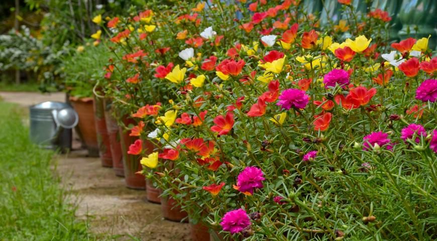 Портулак   посадка рассадой и уход за растением (2)