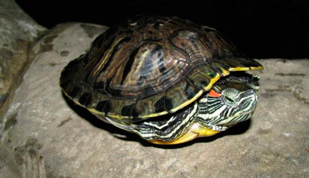 Как определить пол у красноухой черепахи (1)