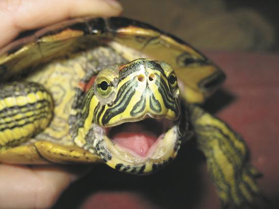 Как определить пол у красноухой черепахи (2)