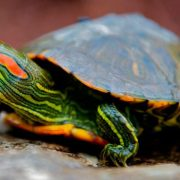 Как определить пол у красноухой черепахи (3)