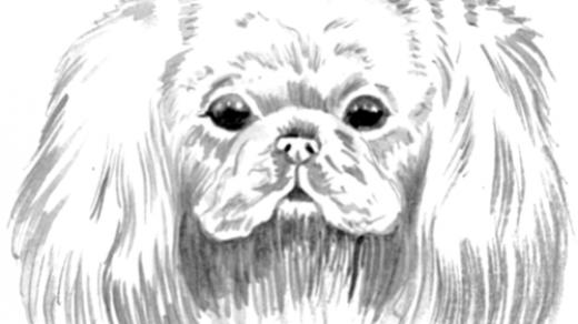Как рисовать Пекинеса   подборка рисунков (18)