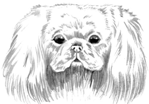 Как рисовать Пекинеса - подборка рисунков (18)