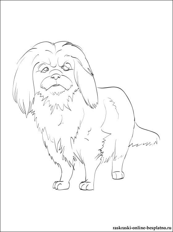 Как рисовать Пекинеса - подборка рисунков (4)