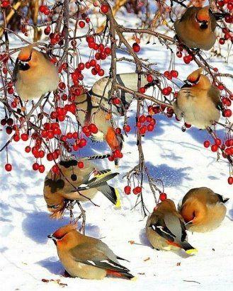 Картинки Снегири и Рябина (11)