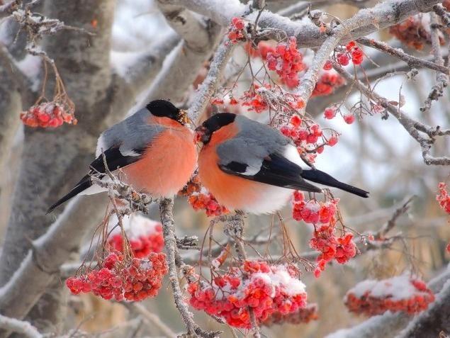Картинки Снегири и Рябина (2)