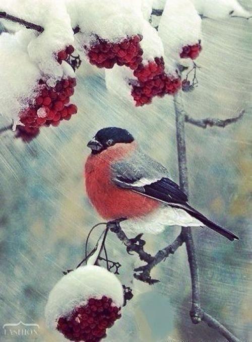 Картинки Снегири и Рябина (3)