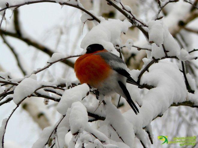 Картинки Снегири и Рябина (8)