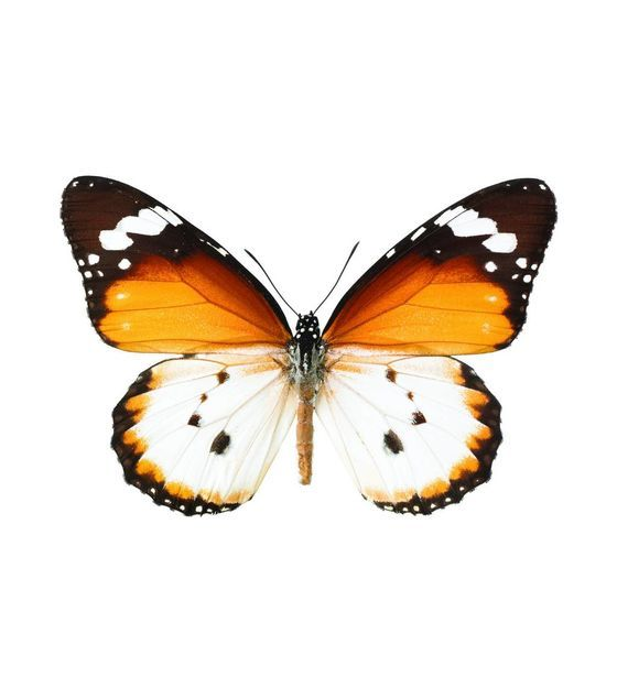 Картинки красивые бабочки нарисованные - подборка изображений (19)