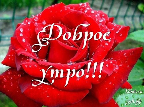Красивые картинки с добрым утром девушке с розами (14)